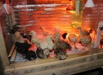 Отопительные приборы для обогрева цыплят в птичниках